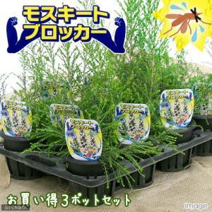 (観葉植物)ハーブ モスキートブロッカー 4号(3鉢) 虫除け植物 家庭菜園|chanet