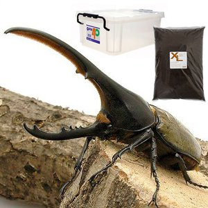 (昆虫)でっかいヘラクレスを作っちゃおうセット(カブトムシ幼虫5匹付)(説明書つき) 外国産カブトムシ 本州・四国限定|chanet