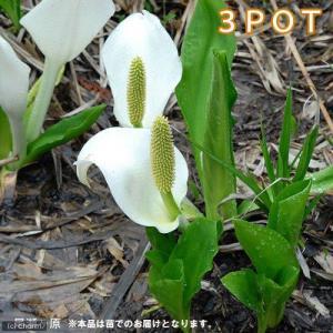 − 水芭蕉(ミズバショウ)の苗 発送サイズ − どんな種類? 湿地などに自生する抽水植物です。発芽後...
