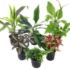 (水草 熱帯魚)おまかせテラリウム用植物(無農薬)3種3ポットセット + おまかせ苔2パックセット 本州・四国限定