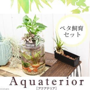 (熱帯魚 水草)私のアクアリウム アクアテリア P150 ベタ飼育セット(生体・植物・ヒーター付き)おしゃれ水槽セット 本州・四国限定|chanet