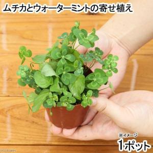 (ビオトープ/水辺植物)メダカの鉢にも入れられる水辺植物! ムチカとウォーターミントの寄せ植え(1ポット)(ミント挿したて)