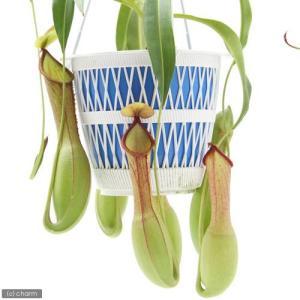 (食虫植物)ウツボカズラ ネペンテス 5号(3鉢)(吊り鉢タイプ) 沖縄別途送料|chanet