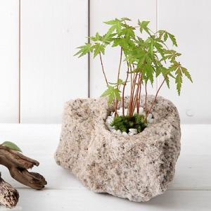 (盆栽)苔盆栽 抗火石鉢植え 紅葉(モミジ 品種おまかせ) Sサイズ(1鉢)飾り石つき
