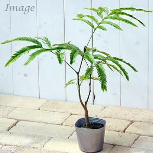 (観葉植物)エバーフレッシュ 3号(1ポット)の画像