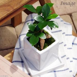 (観葉植物)ガジュマル 陶器鉢植え ニューダイスS WH(1鉢) 受け皿付き