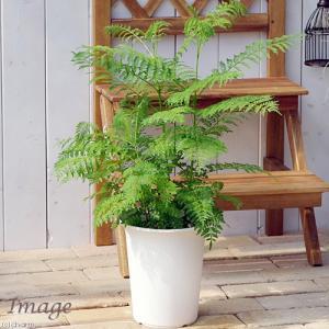 (観葉植物)ジャカランダ 6号(1鉢)の画像