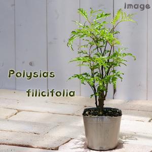 (観葉植物)ポリシャス フィリシフォリア 3号(...の商品画像