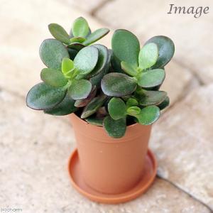 (観葉植物)クラッスラ 花月(金のなる木) 2号ロング(1鉢) 受け皿無し