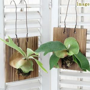 (観葉植物)コウモリラン ビカクシダ 焼杉板 壁掛仕立て(1個)|chanet