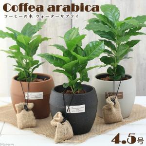 (観葉)コーヒーの木 ウォーターサプライ 4.5号(1鉢) 底面給水鉢仕様 鉢色おまかせ