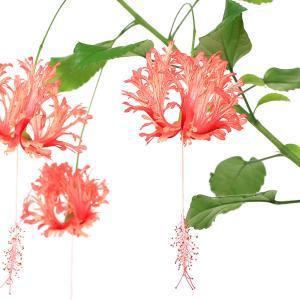 (観葉植物)フウリンブッソウゲ(風鈴仏桑花) ハイビスカス 3号(1ポット)