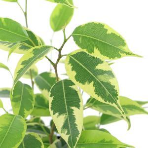 (観葉植物)フィカス ベンジャミン ラブリー 3号(1鉢) 北海道冬季発送不可