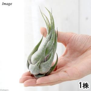 (観葉植物)エアープランツ ティランジア セレリアナ Sサイズ(1株)