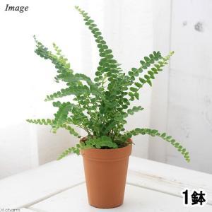 (観葉植物)シダ ネフロレピス ダッフィー 2号ロング(1鉢)