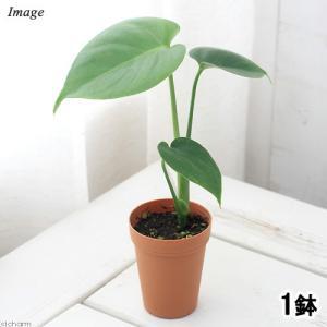 (観葉植物)モンステラ 2号ロング(1鉢)