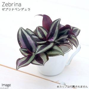 (観葉植物)ミニ観葉 オアシス苗 トラディスカンチア ゼブリナ ペンデュラ(1苗)