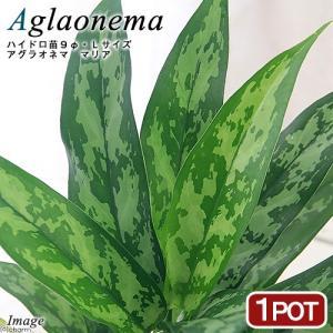 (観葉植物)ハイドロ苗9φ・Lサイズ アグラオネマ マリア(1ポット)
