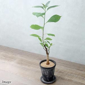 (観葉植物)バオバブの木 アフリカバオバブ(アダンソニア ディギタータ) 陶器鉢植え ロゼッタラウン...
