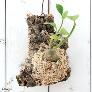 観葉植物を着生させたオシャレなグリーンオブジェ! ジャングルの一部を切り取ったかのような自然な風合い...