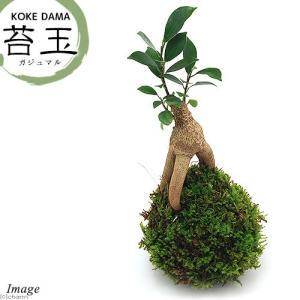 (観葉植物)苔玉 ガジュマル Ver.這苔(1個)