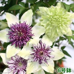 美しい2種類の花色が楽しめるミックス鉢クレマチスは、ラヌギノーサ種、テッセン種などの中国産や、ヨーロ...