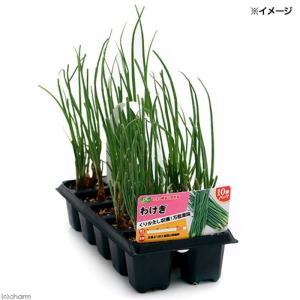 (観葉植物)野菜苗 わけぎ(分葱) 10株パック(1セット) 家庭菜園 北海道冬季発送不可