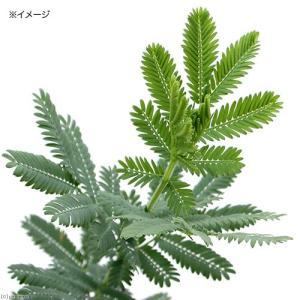 (観葉植物)アカシア ミモザ 3.5号(1ポット)