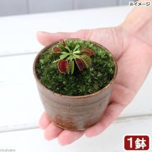 (観葉植物)苔盆栽 ハエトリソウ 穴有益子焼植木鉢 還元(1鉢)
