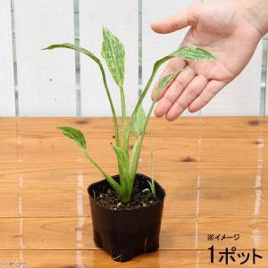 (ビオトープ/水辺植物)サジタリア グラミネア クラッシュアイス (1ポット分)