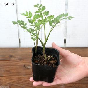 (ビオトープ)水辺植物 セリ 芹(1ポット)