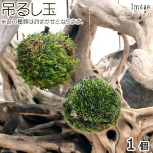 (盆栽)ミニ苔玉 吊るし玉(1個) 観葉植物 コケ玉