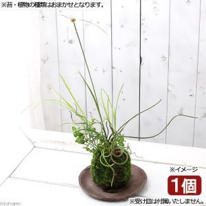 メーカー:■神田直接 メーカー品番: こけだま 苔玉 ガーデニング コケ 苔 ガーデニング 観葉植物...