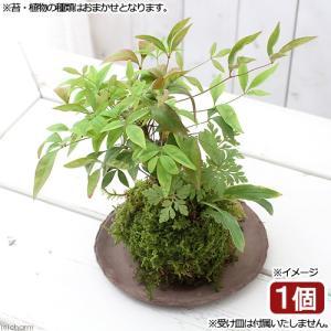 (盆栽)苔玉 山野草3種寄せ植え(品種おまかせ)(1個) 観葉植物 コケ玉 (休眠株)