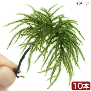 (観葉植物/苔)コウヤノマンネングサ(無農薬)(10本)