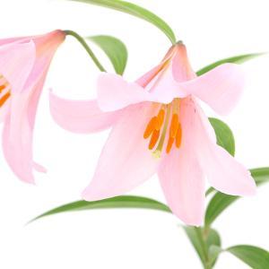 薄いピンク色の花が美しいユリ!日本特産のユリで、新潟県と東北地方の一部にしか生息しない貴重なユリの仲...