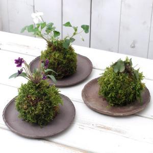 (盆栽)苔玉 スミレ 品種おまかせ(1個) 観葉植物 コケ玉 (休眠株)