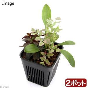 (ビオトープ)水辺植物 メダカが喜ぶ水辺植物!産卵・冬眠用寄せ植え 3号( 2ポットセット)水質浄化 |chanet