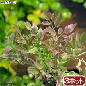 (ビオトープ)水辺植物 アケボノセリ(3ポット分) (休眠株)