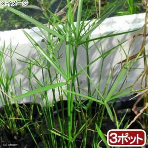 (ビオトープ)水辺植物 ミニシペルス(3ポット分) (休眠株)