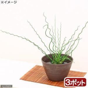 (ビオトープ)水辺植物 ラセンイ(3ポット分) (休眠株)