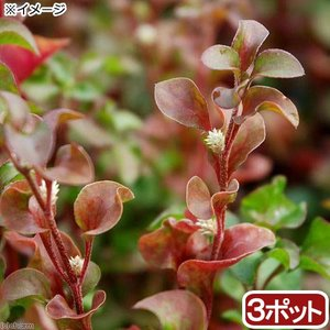 (ビオトープ)水辺植物 アルター レッド(3ポット分) (休眠株)