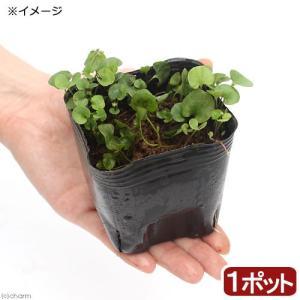 (ビオトープ)水辺植物 アオイゴケ(ダイコンドラ・ミクランサ) 3号(1ポット) 湿性植物 (休眠株...