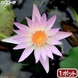 (ビオトープ)睡蓮 熱帯性睡蓮(スイレン)(桃) ピンクルビー(1ポット)(休眠株)