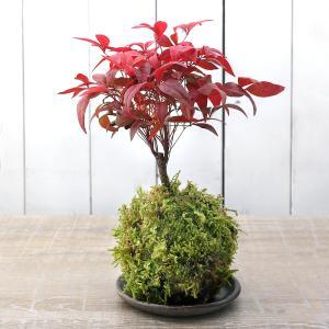 秋には鮮やかな紅葉を拝めます!苔玉 品種おまかせ ナンテン(南天)(1個 … _gardening ...