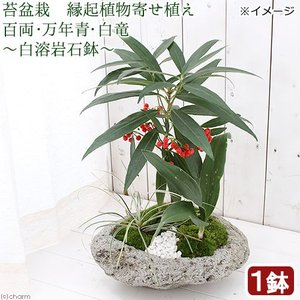 (盆栽)苔盆栽 縁起植物寄せ植え 百両・万年青・白竜 〜白溶岩石鉢〜(1鉢)