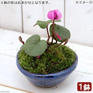 (山野草)苔盆栽 原種シクラメン コウム 平小鉢植え 鉢色おまかせ(1鉢)