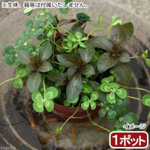 (ビオトープ)水辺植物 メダカの鉢にも入れられる水辺植物! ムチカとルビンの寄せ植え(1ポット)(ルビン挿したて)
