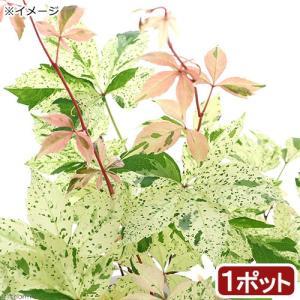 (観葉植物)パーセノシッサス 品種系斑入りアメリカヅタ ミステリー ピンク 3号(1ポット)