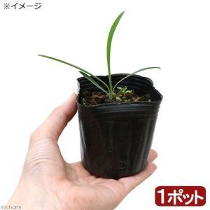 漢方や生薬として用いられます!ミシマサイコはセリ科ミシマサイコ属の多年草で本州から九州の日当たりの良...